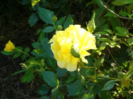rose_gelb.JPG